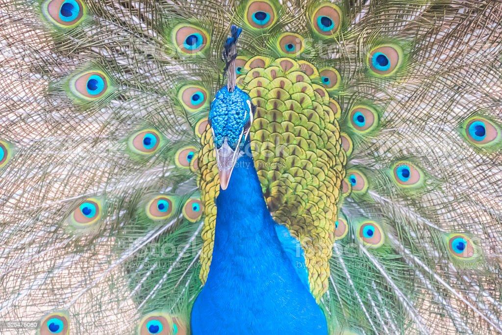Pavo cristatus, Indian peafowl stock photo