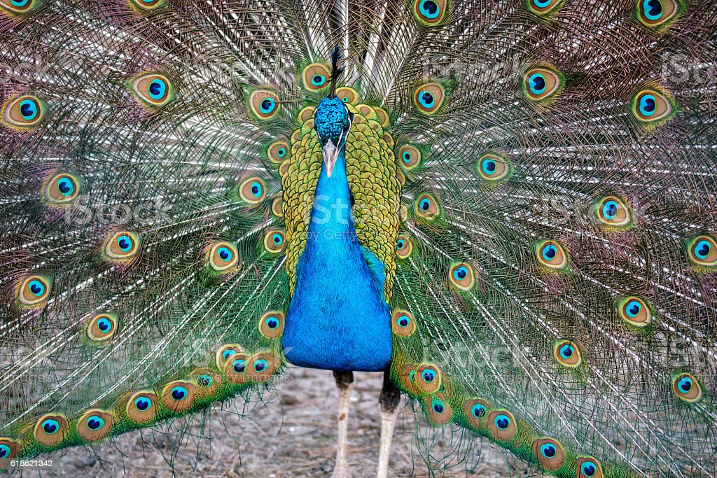 Pavo cristatus male peacock courtship display fanning tail background stock photo