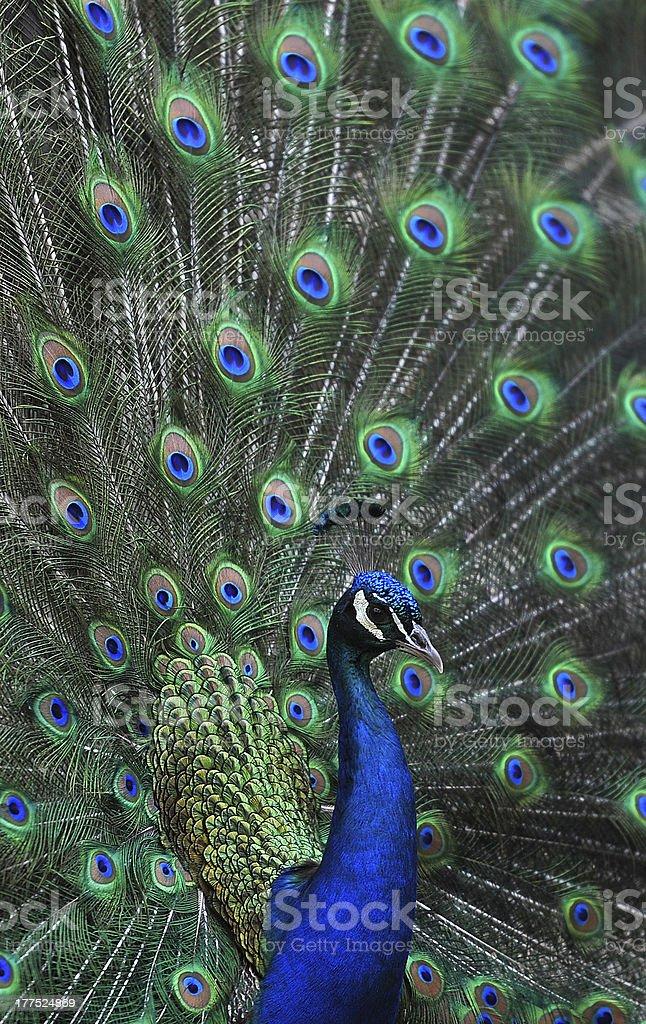 Pav?o / Peacock royalty-free stock photo