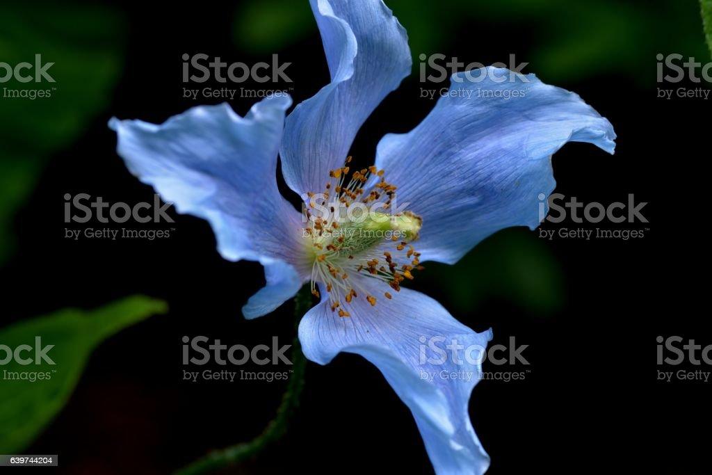 Pavot bleu (Meconopsis betonicifolia) stock photo