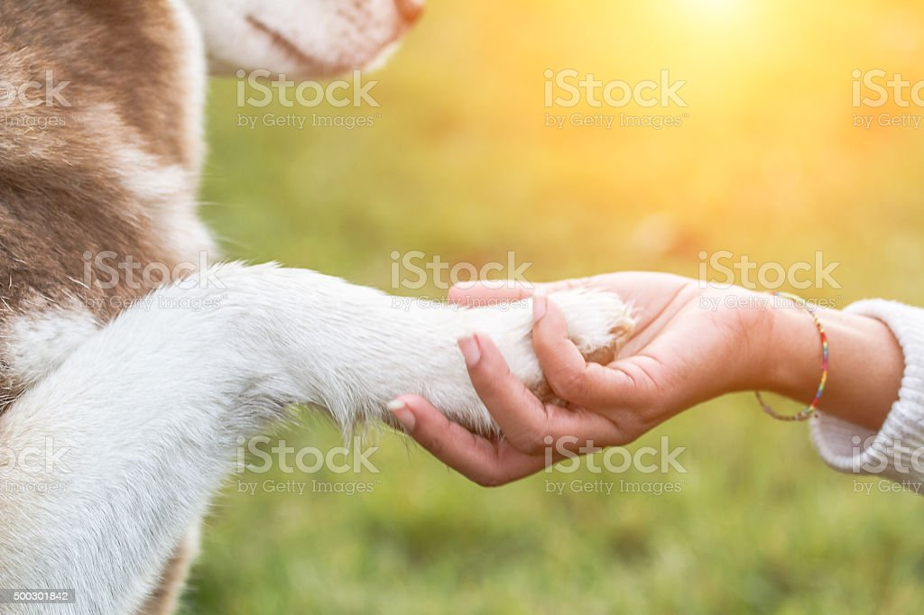 Paw on hand - Young woman and Husky stock photo