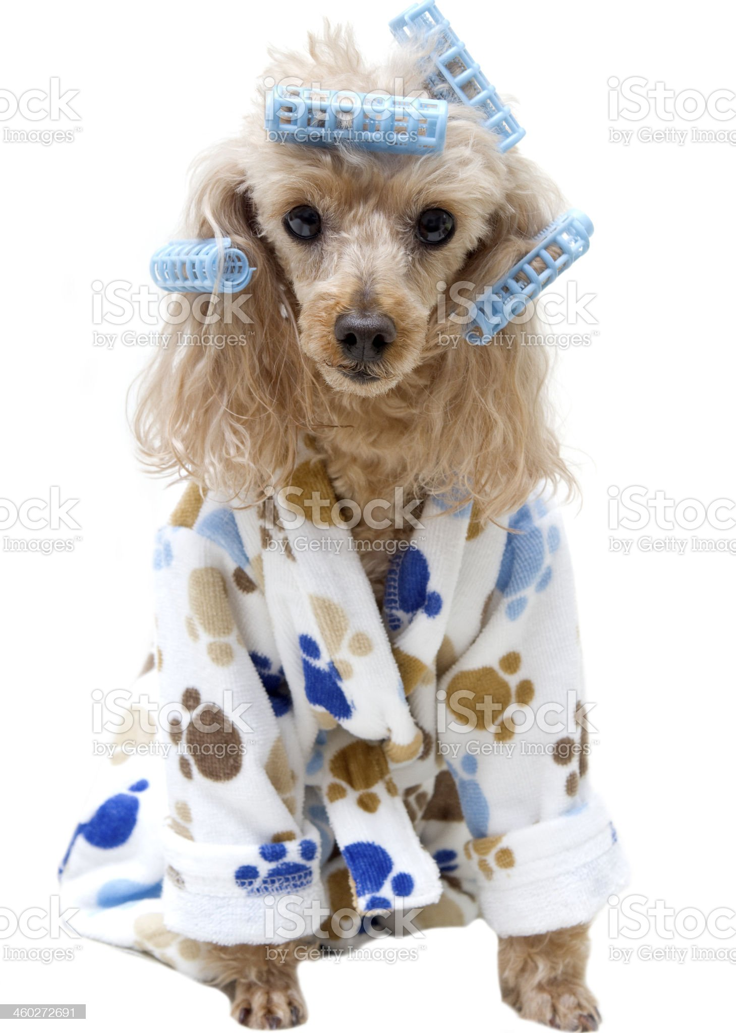 Paw Print Bathrobe and Blue Curlers royalty-free stock photo