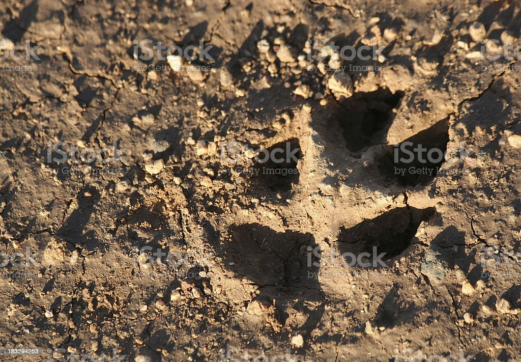 Paw Print in Mud royalty-free stock photo