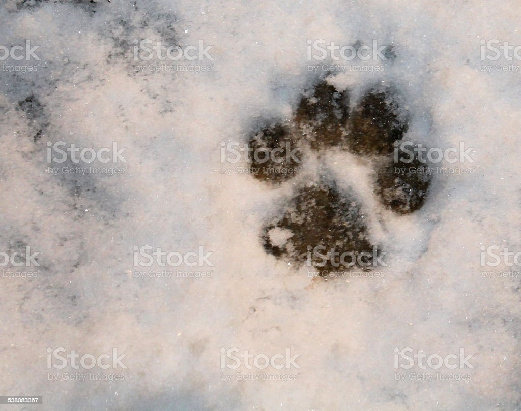 Paw print in snow stock photo