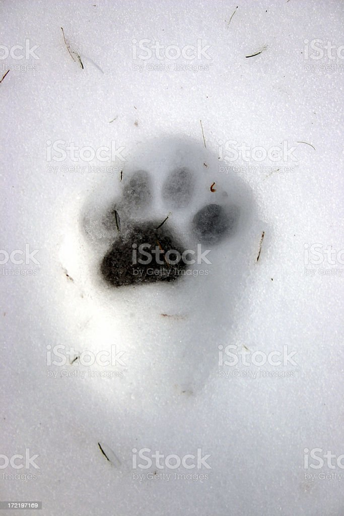 Paw Print in the snow royalty-free stock photo