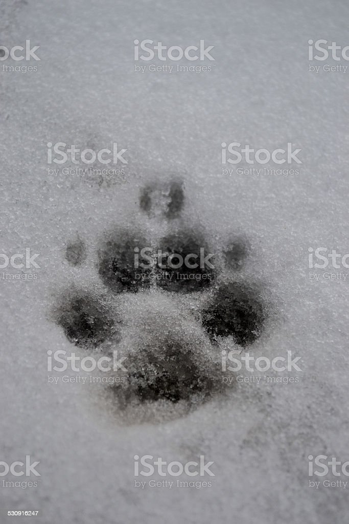 Paw print in the snow stock photo