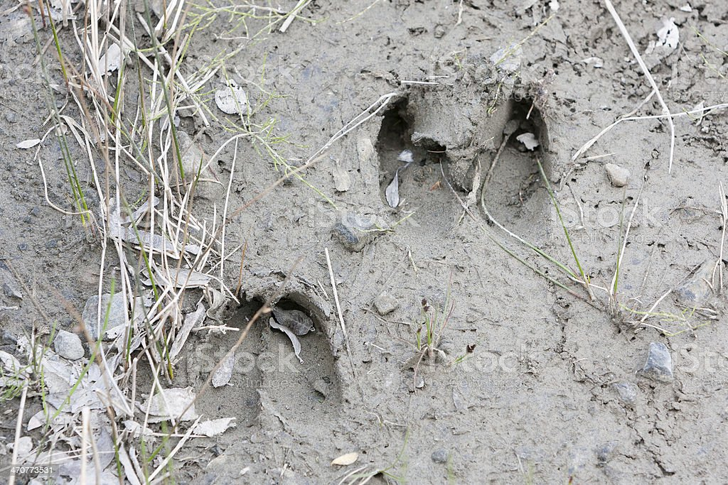 Paw print of Muskox (Ovibos moschatus) royalty-free stock photo
