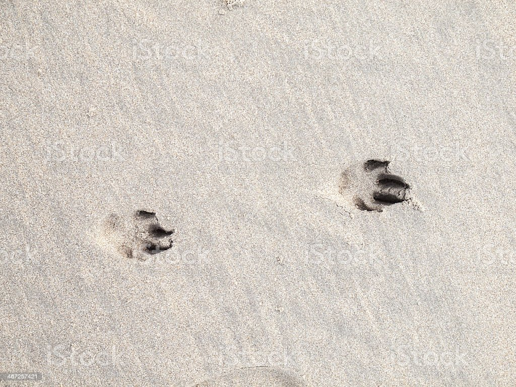 paw prints in sand royalty-free stock photo