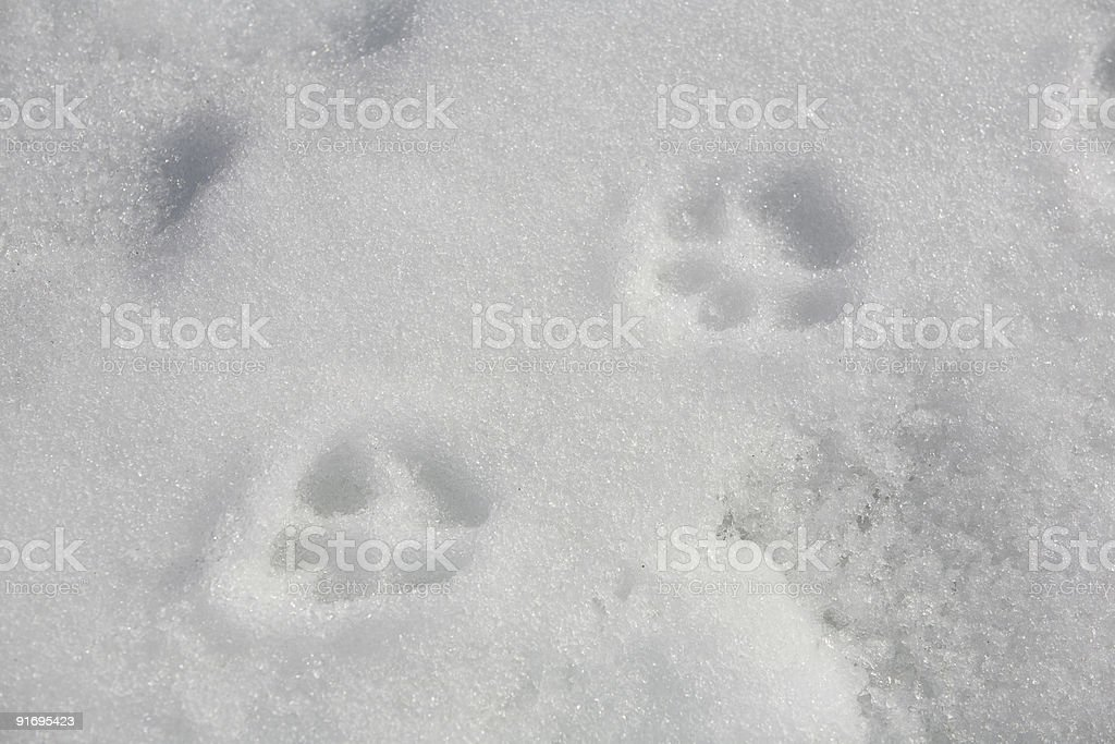 Paw Prints in the Snow royalty-free stock photo