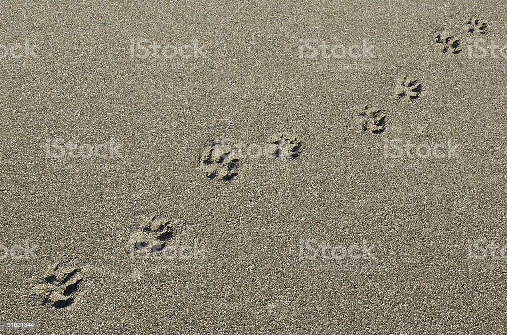 Paw Prints on Sandy Beach stock photo