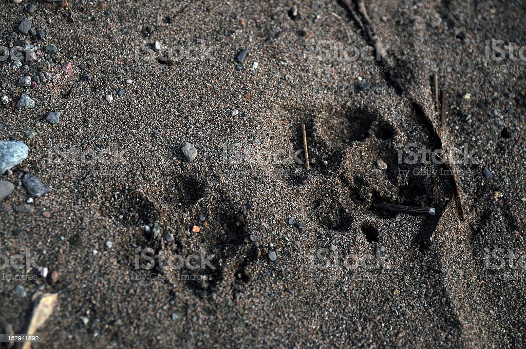 Paw prints on the beach royalty-free stock photo