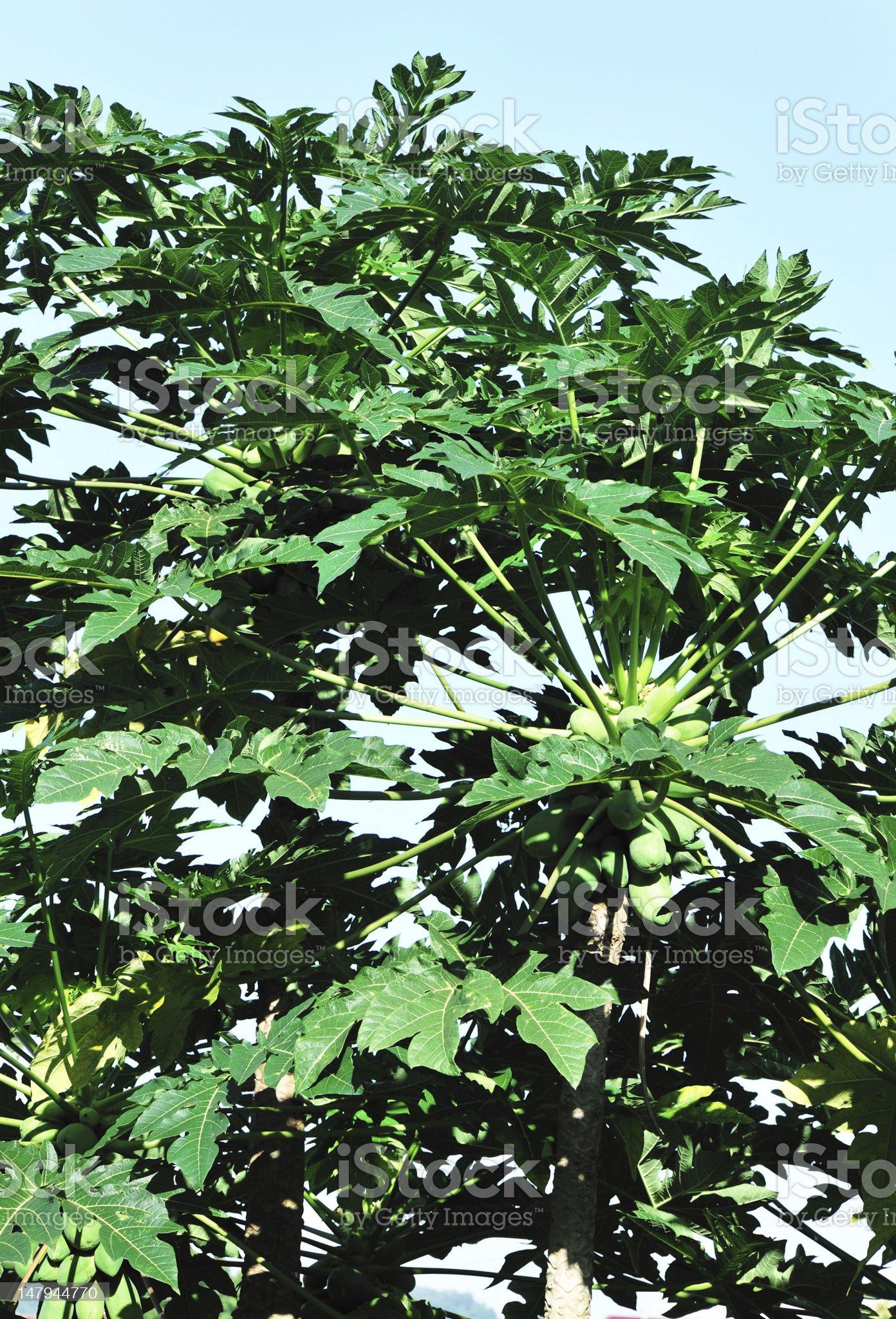 pawpaw trees royalty-free stock photo