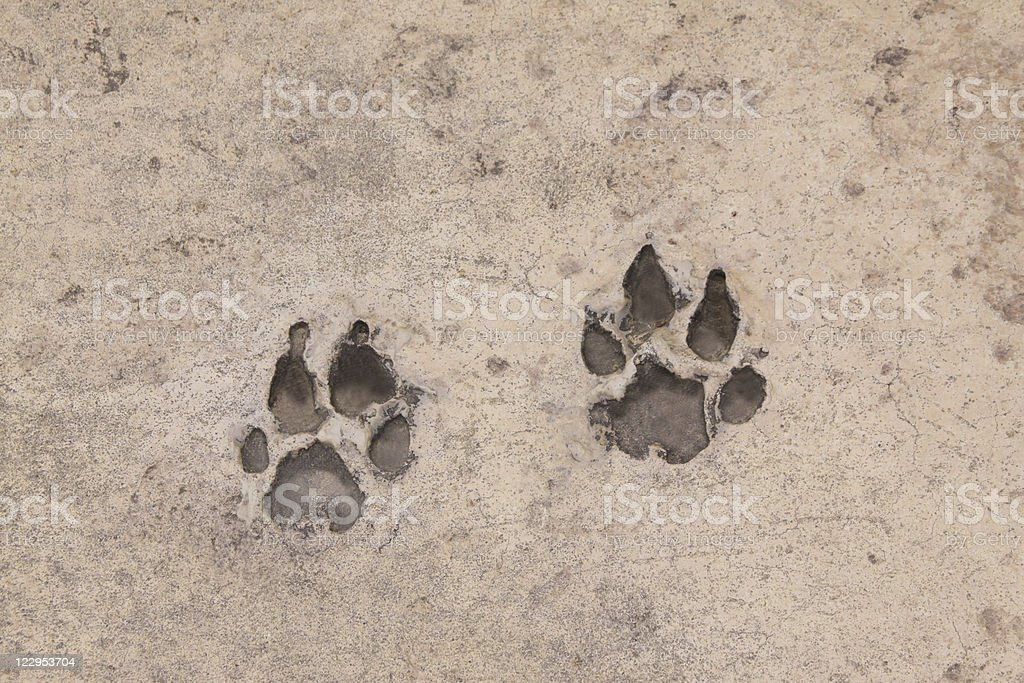 Pawprints in Concrete royalty-free stock photo