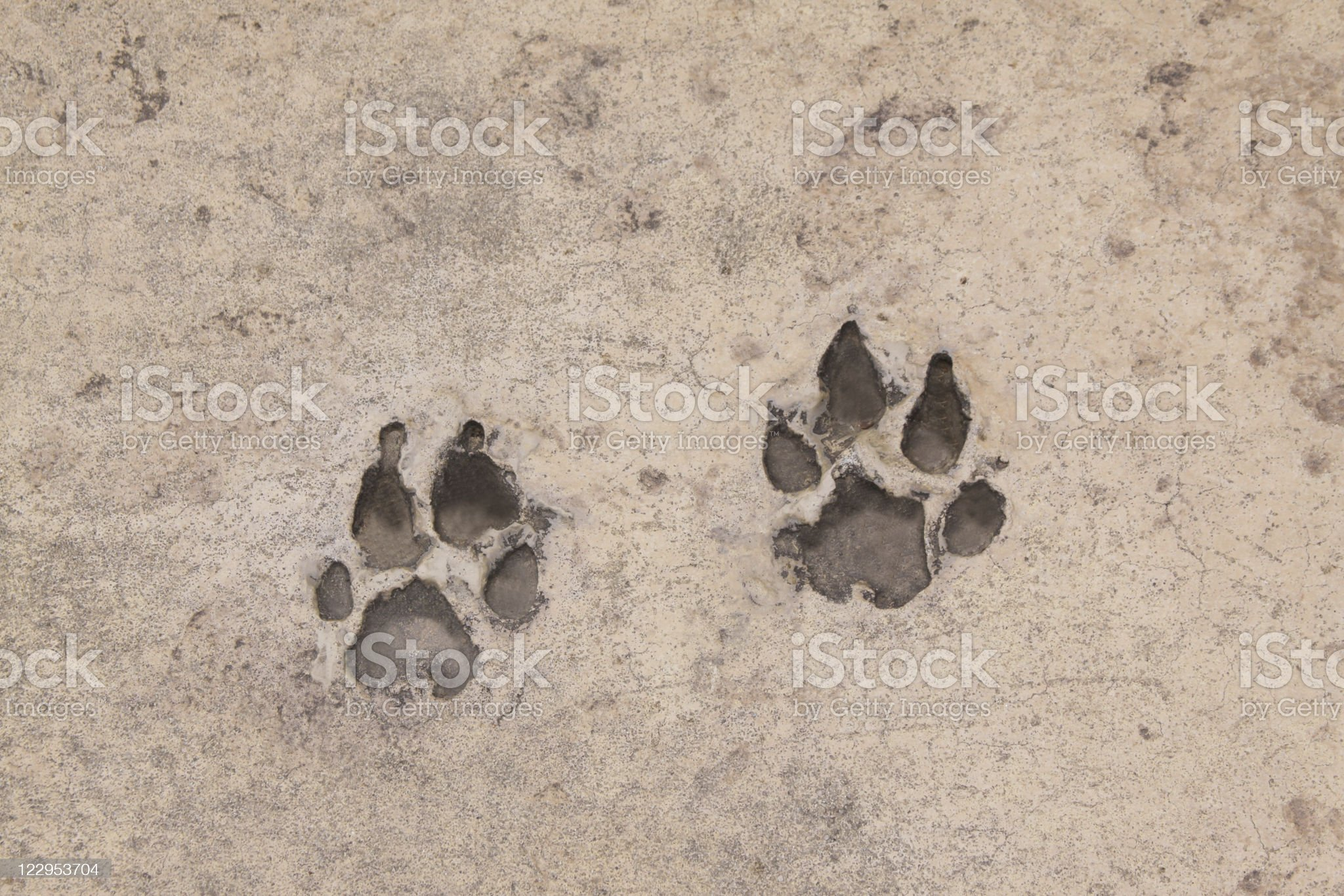 Pawprints in Concrete royalty-free stock photo