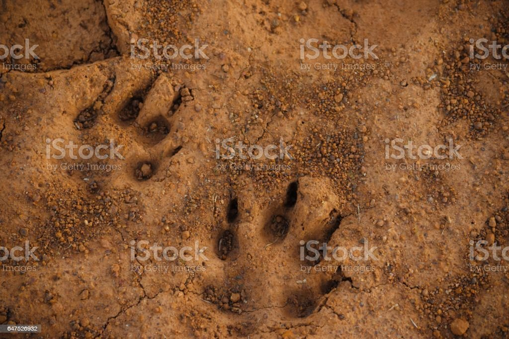 Pawprints in mud stock photo