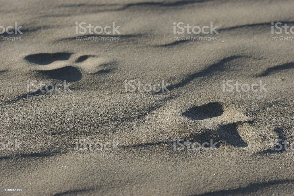 Pawprints in the Sand royalty-free stock photo