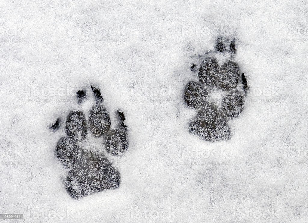 Pawprints in the Snow stock photo