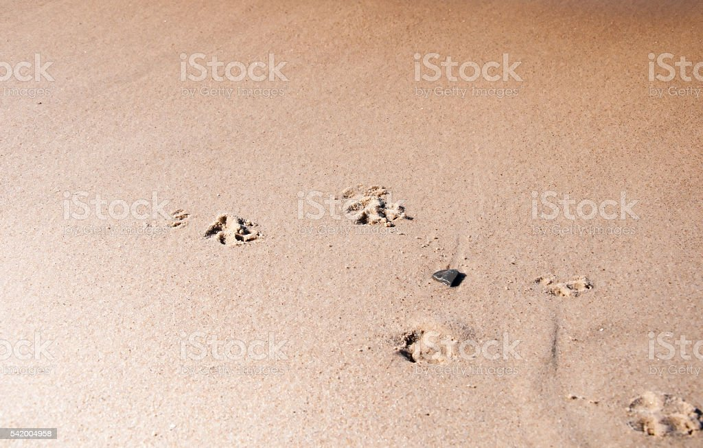 Pawprints on the beach stock photo