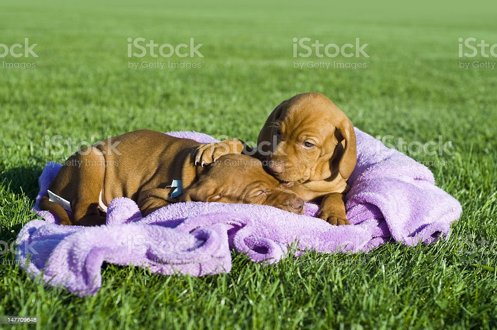 Paying puppies royalty-free stock photo