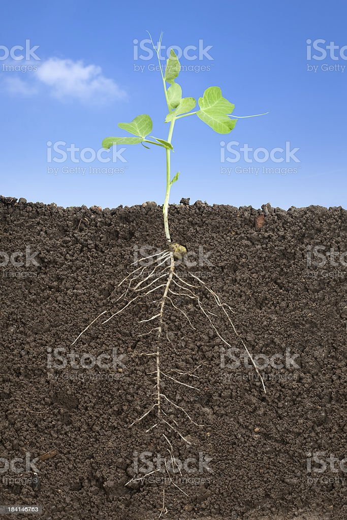 pea and roots royalty-free stock photo