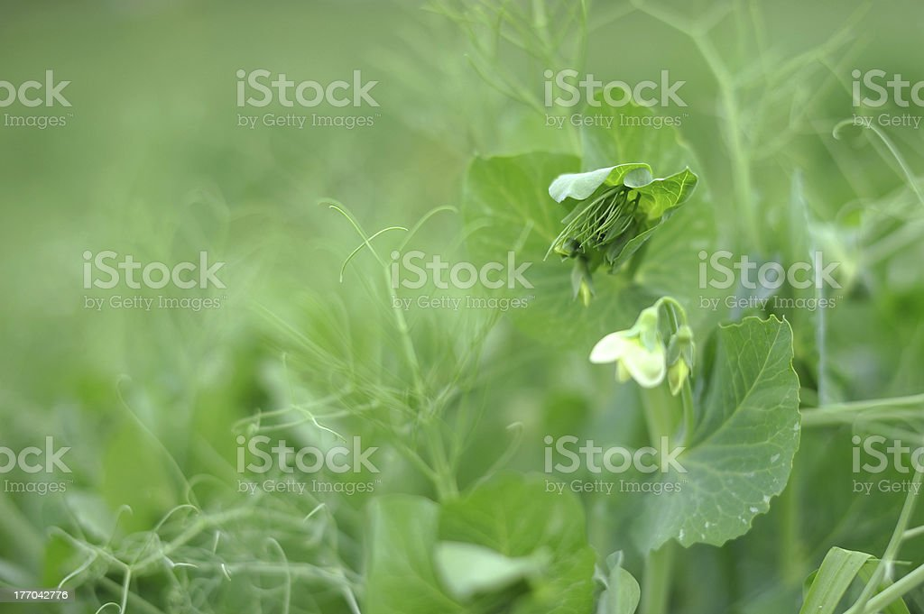 Pea blossom royalty-free stock photo