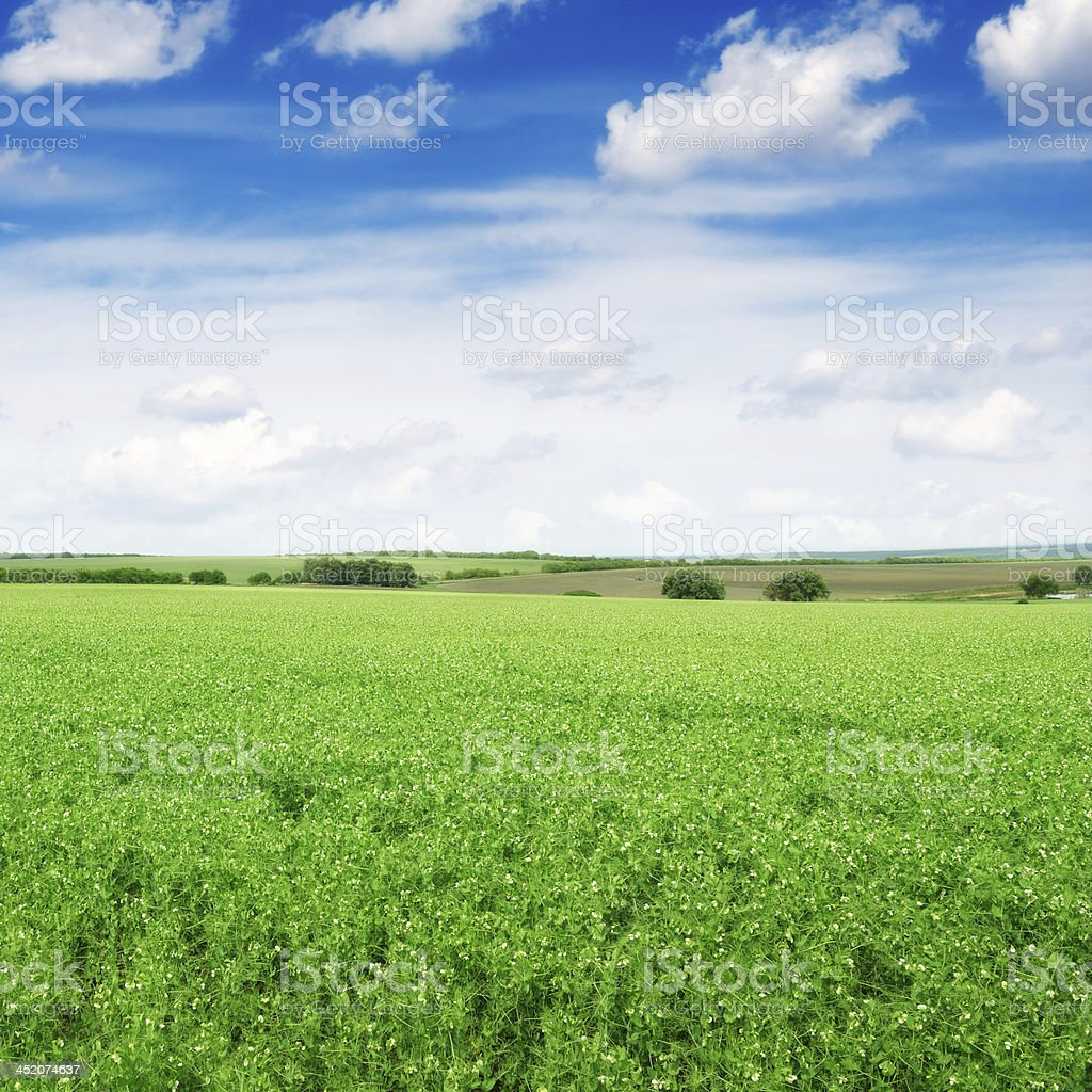 Pea field and  sky royalty-free stock photo