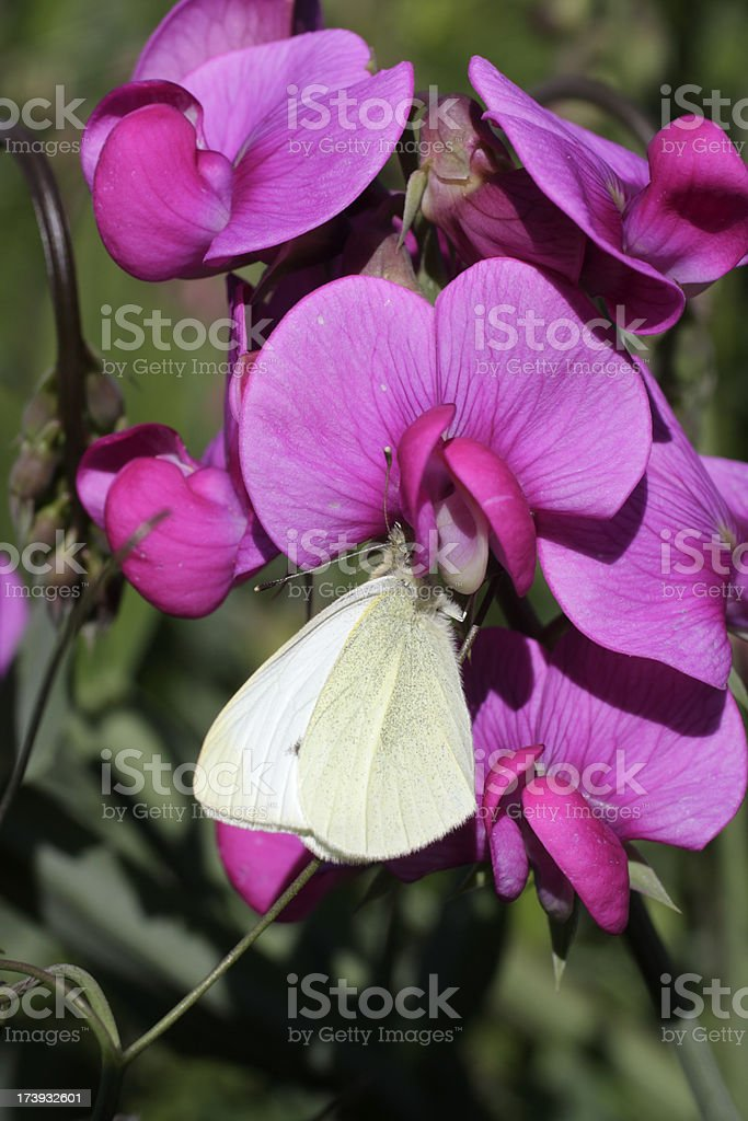 White butterfly on pink flowered broad-leaved everlasting pea stock photo
