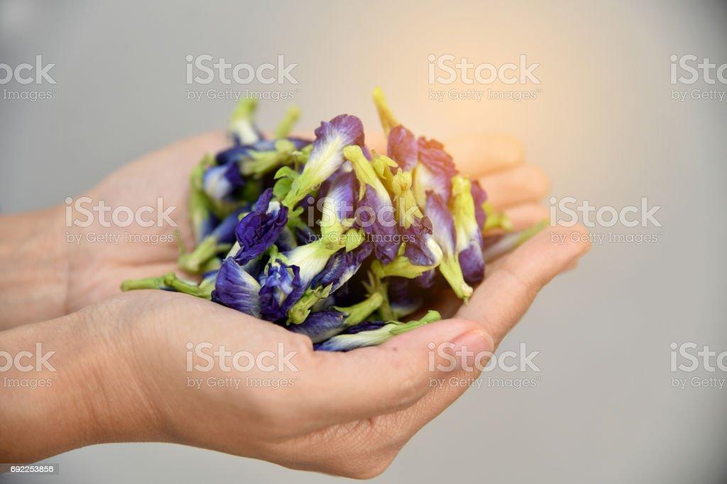 Pea flowers, Clitoria ternatea, butterfly blue. Asian pigeonwings (Clitoria ternatea ) prepare for Butterfly Pea Juice. stock photo