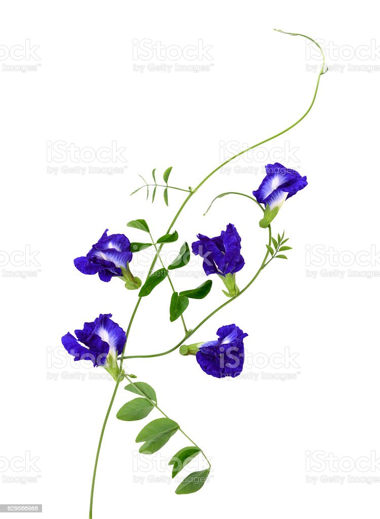 Pea flowers on a white background. stock photo
