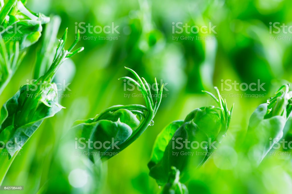 Pea green young tendril plants shoots in growing container stock photo