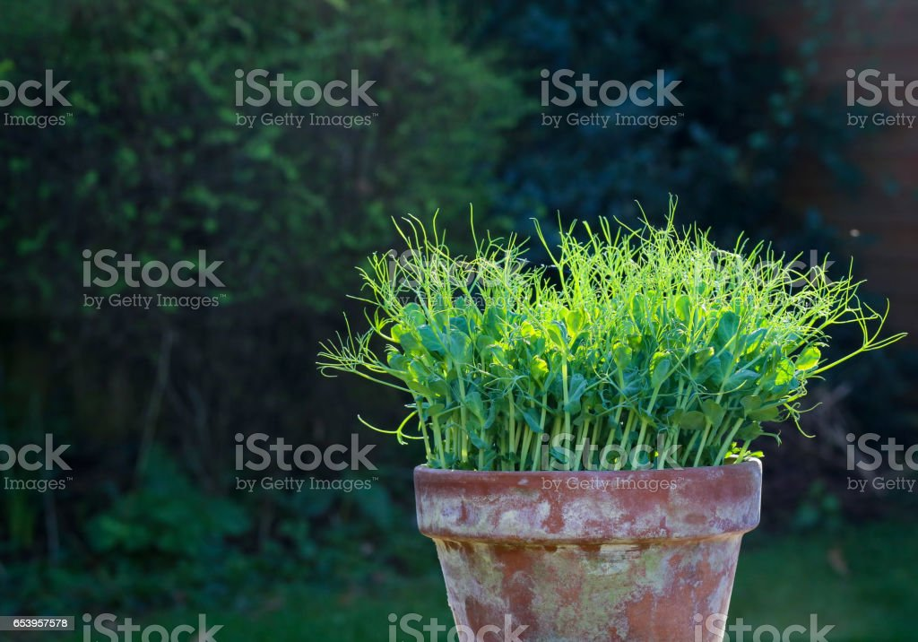 Pea green young tendril plants shoots microgreens in plant pot stock photo