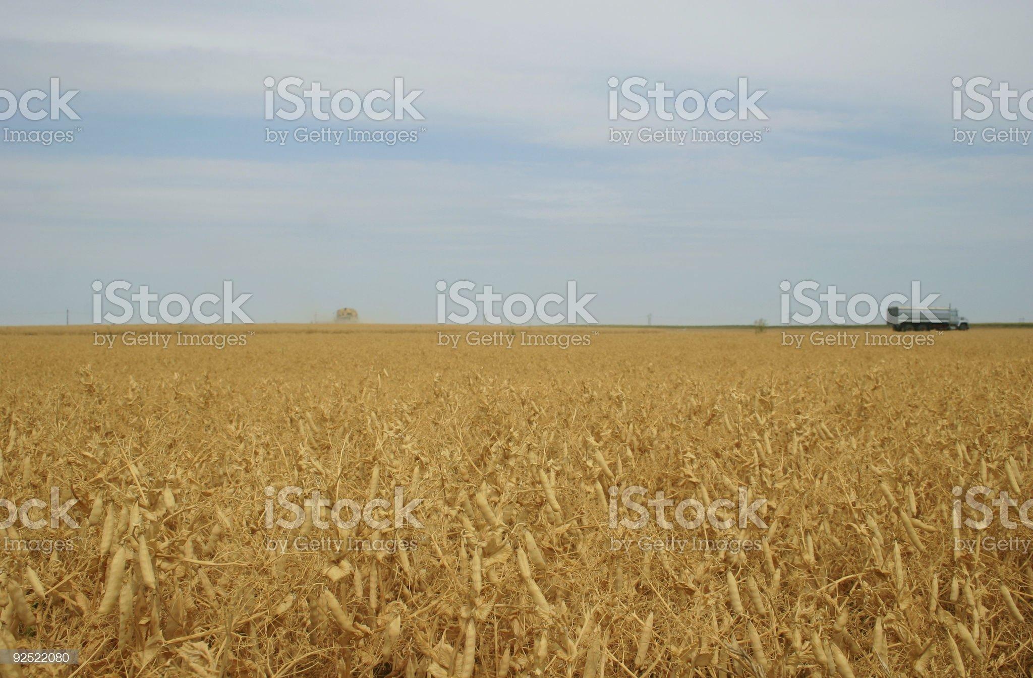 pea harvest 2 royalty-free stock photo