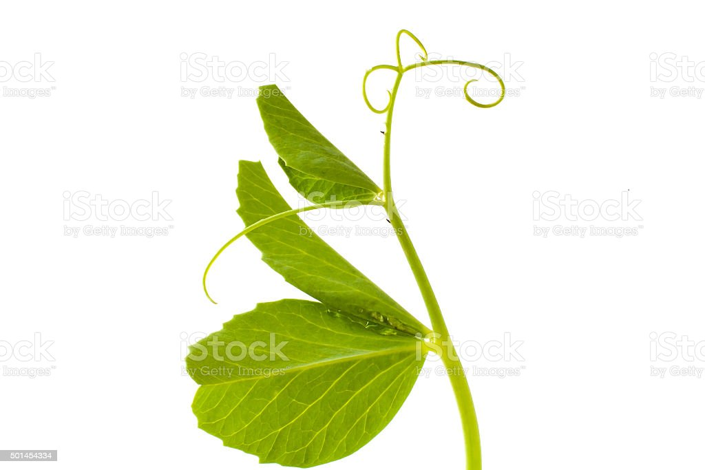 pea leaf with tendril on white stock photo