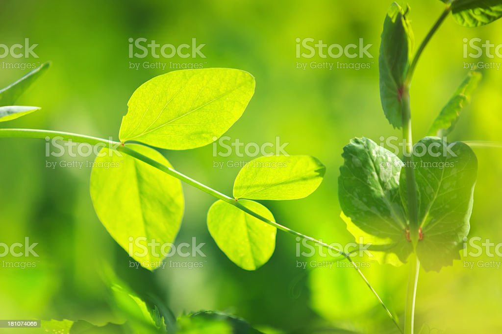 Pea leaves royalty-free stock photo