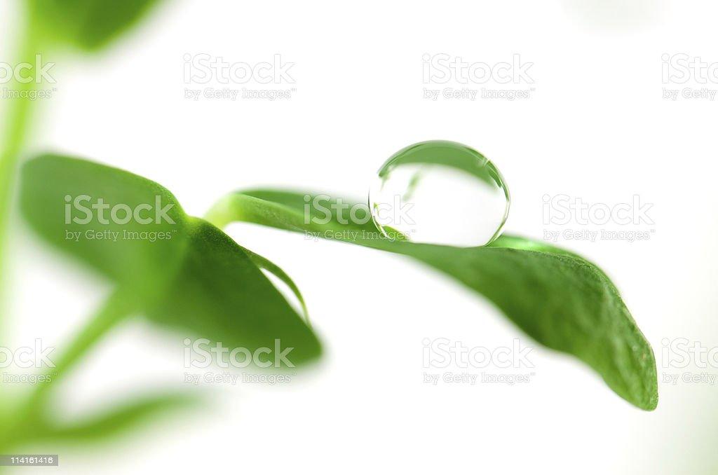 Pea plant stock photo
