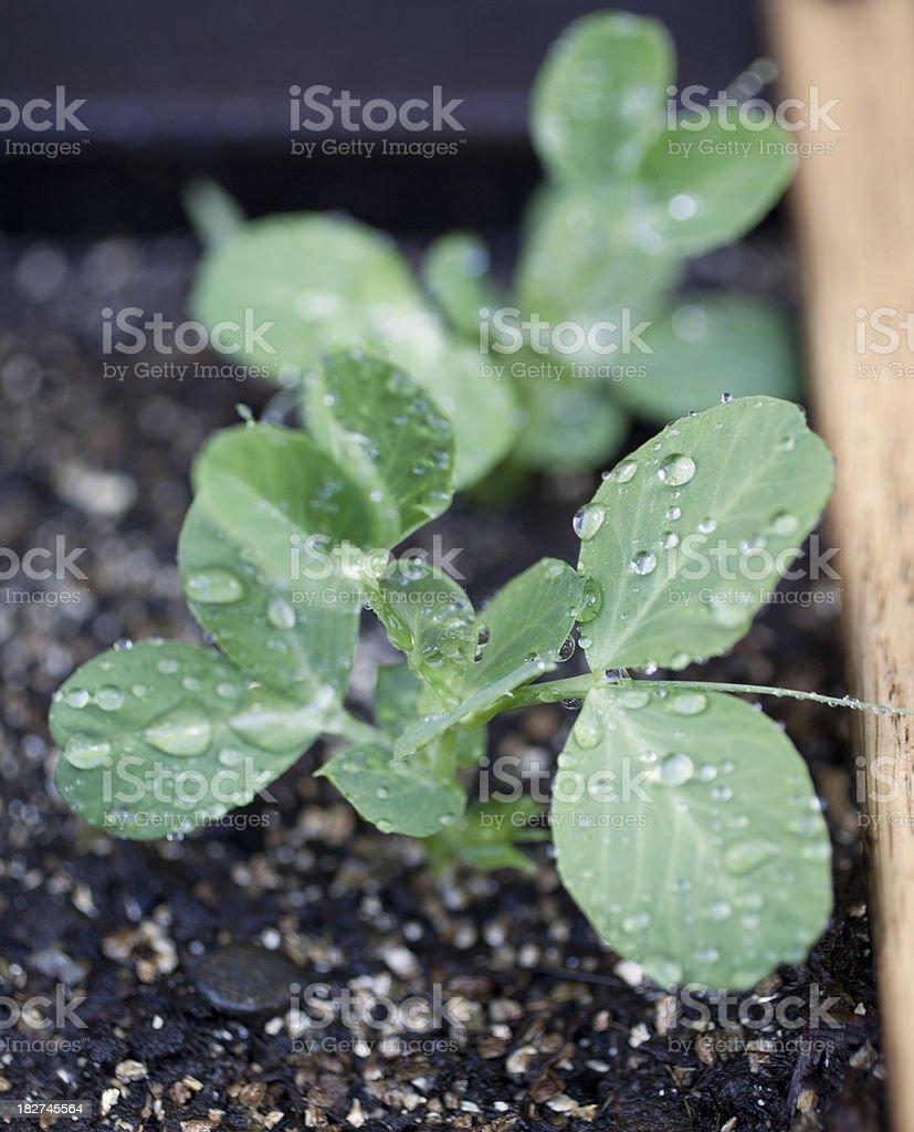 Pea Seedling stock photo