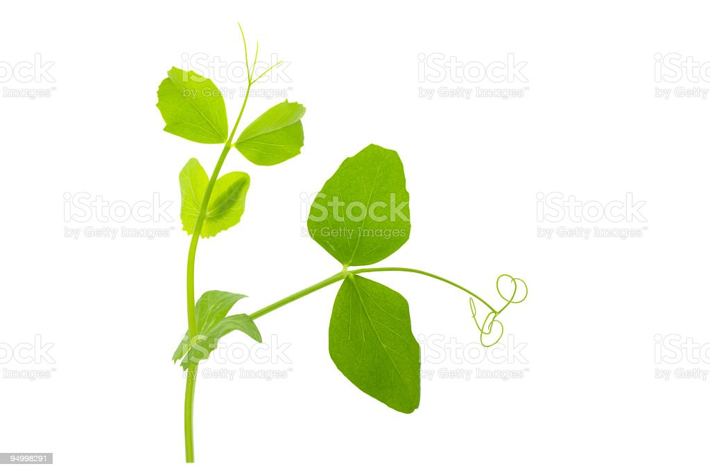 Pea sprout in white background stock photo