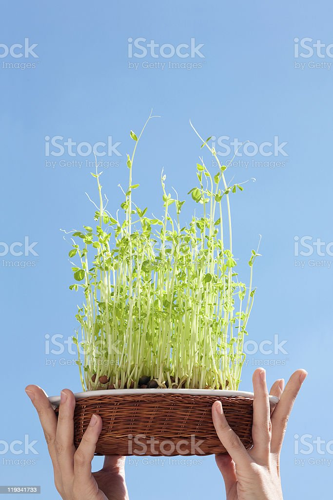 Pea sprout stock photo