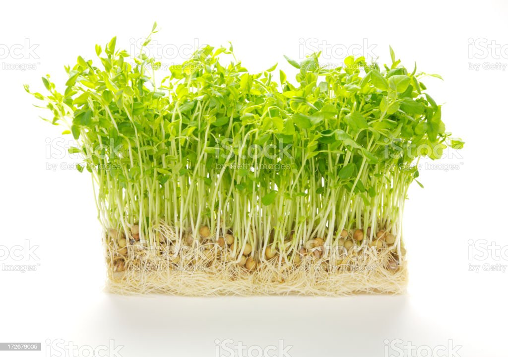 Pea sprouts royalty-free stock photo