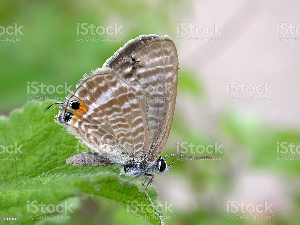 Peablue (Lampides boeticus) Butterfly royalty-free stock photo