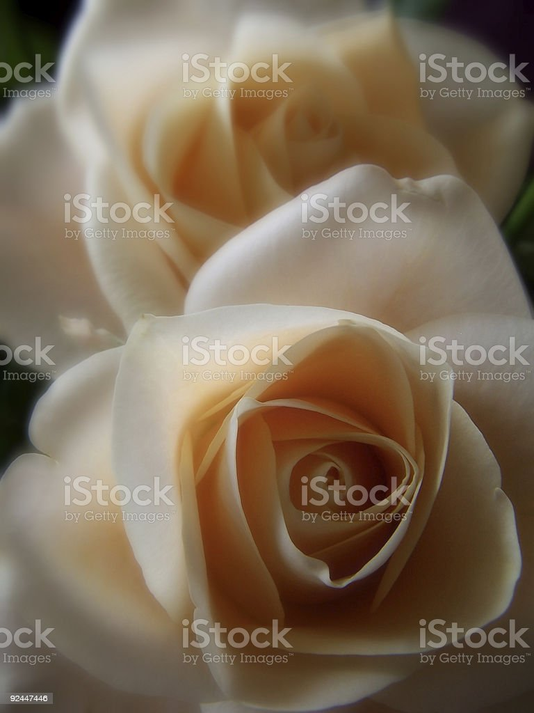 Peace of the Roses royalty-free stock photo