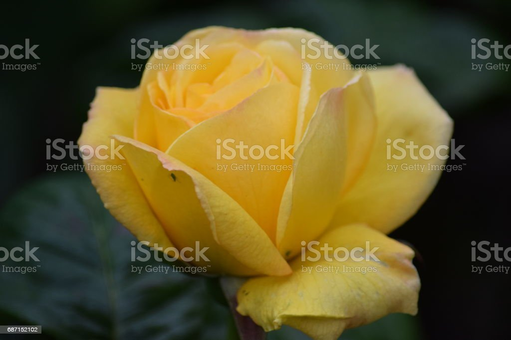 Peace rose opening stock photo