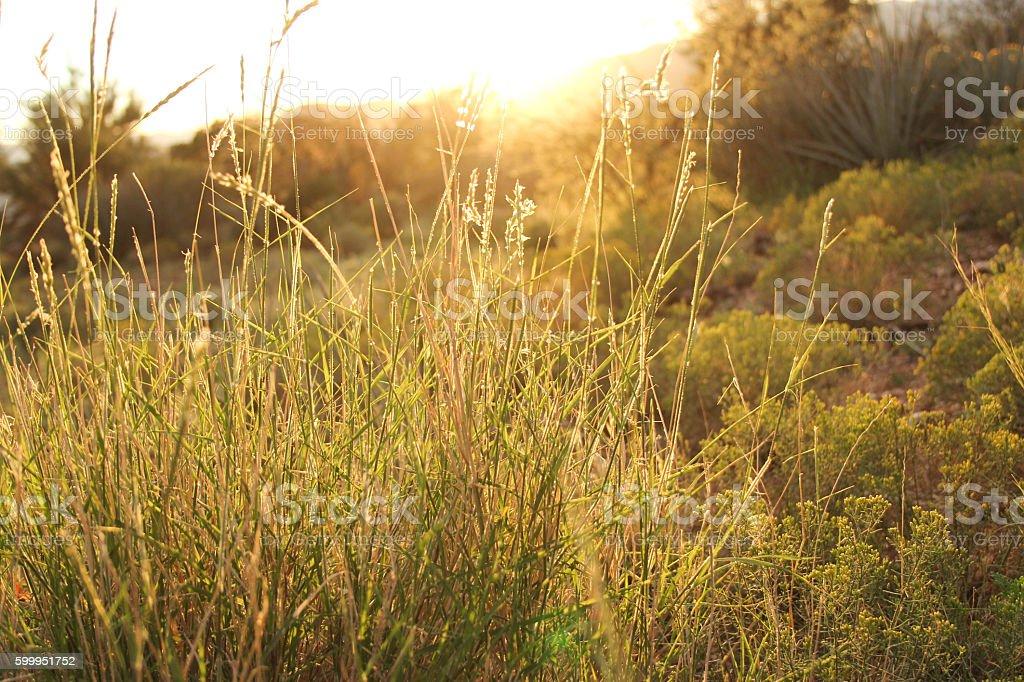 Peaceful Grass Field at Sunrise stock photo