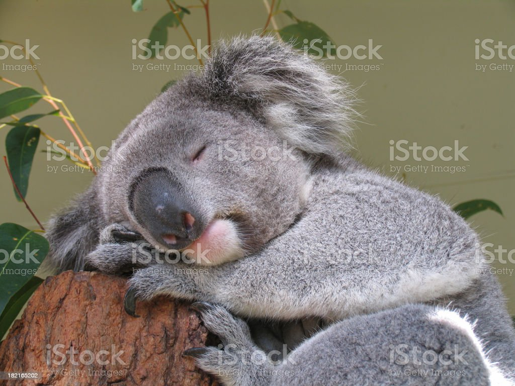 peaceful koala bear stock photo