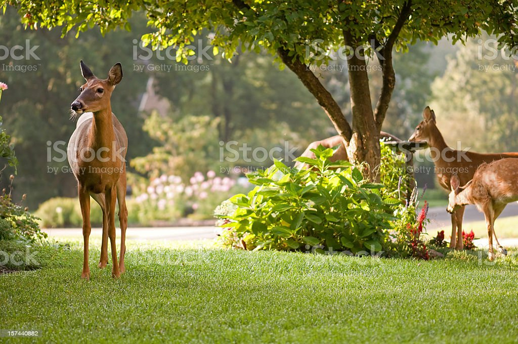 peaceful morning scene with deer nature stock photo
