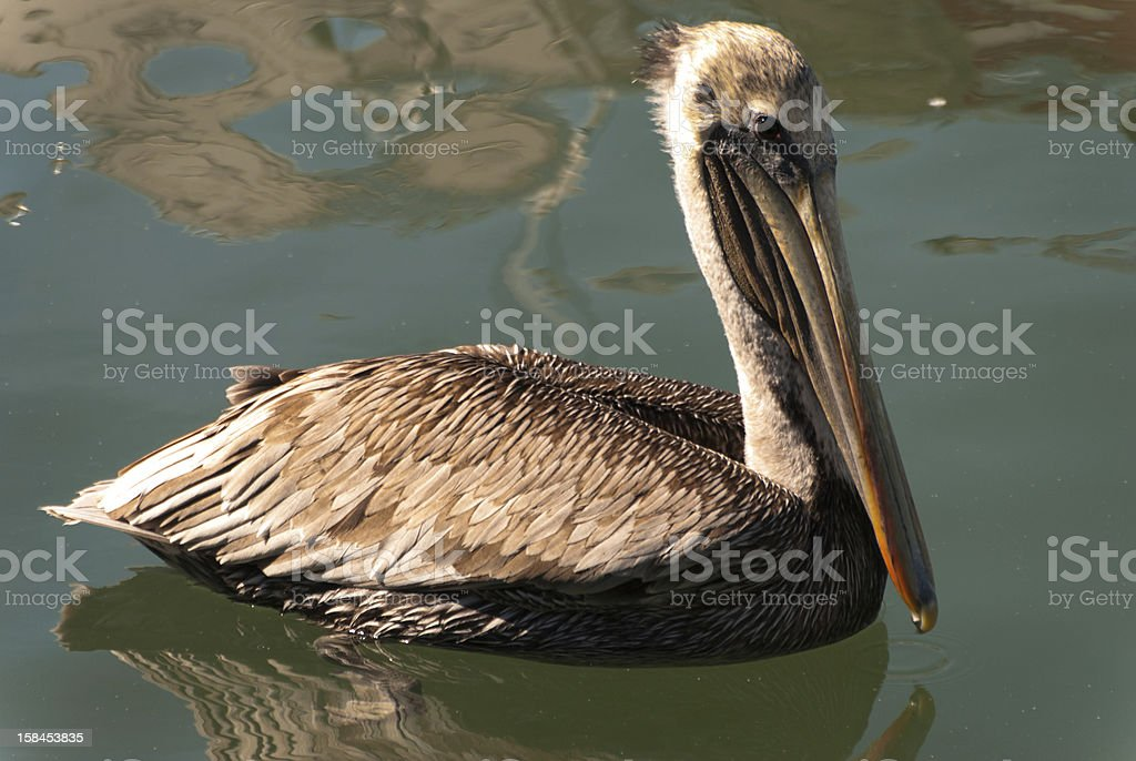 Peaceful Pelican stock photo