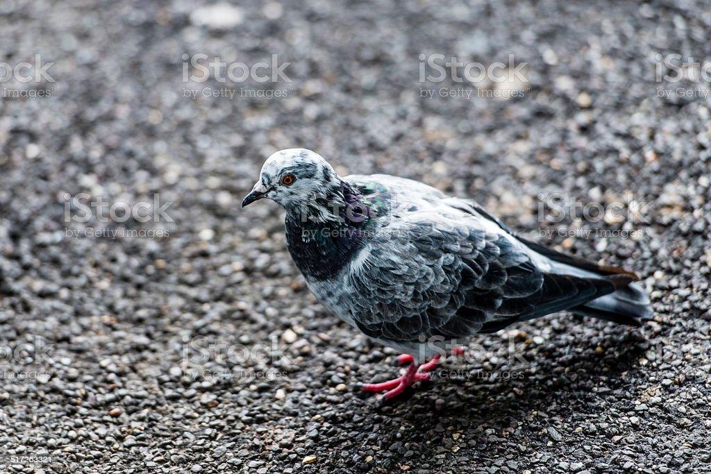 Peaceful pigeon stock photo