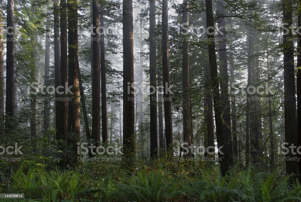 Peaceful Redwoods stock photo