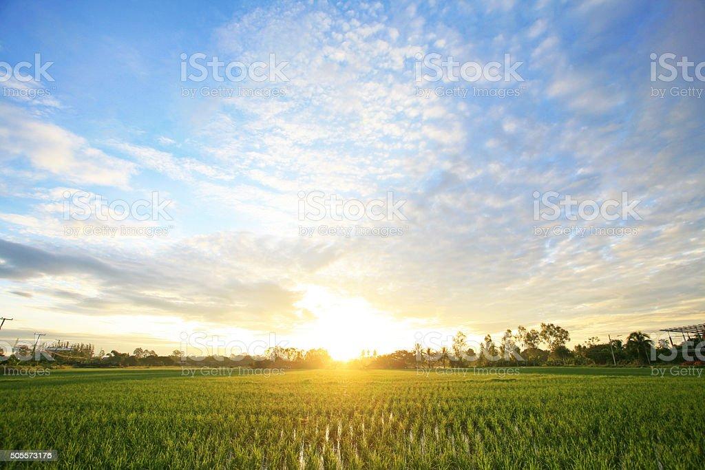 peaceful rice field on sunrise sky stock photo