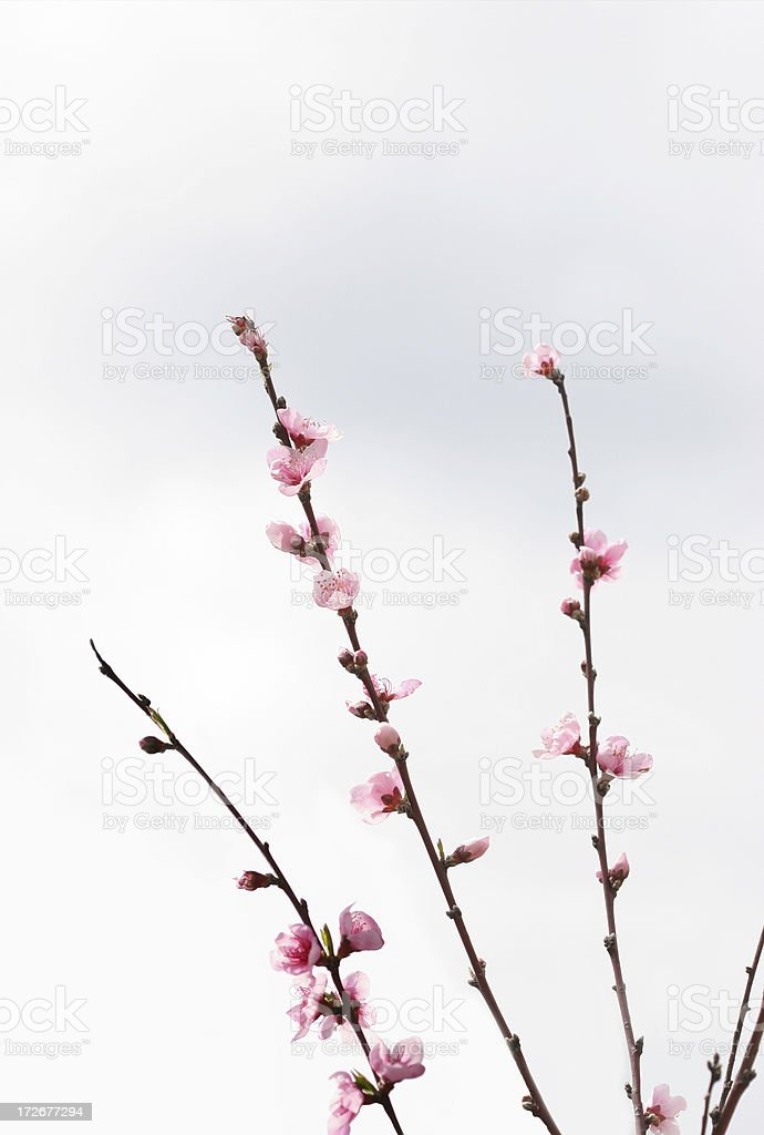 Peach Blossom Branches royalty-free stock photo